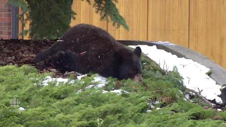 Wildlife officers tranquilized and removed a bear that was sleeping up a tree in Bayview.