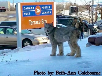 A lynx is seen skulking on the snowbanks by the Terrace Bay, Ont., Canada Post office