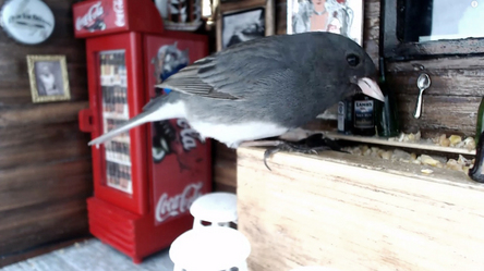 There's a new bar in downtown St. John's that's doing a booming business. It's called Junco's Pub. But not everybody can get in. This one is JUST for the birds