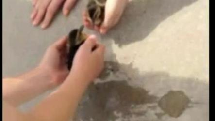 Four ducklings were rescued from beneath a storm sewer grate in Regina. (Video/Dennis Dodds)